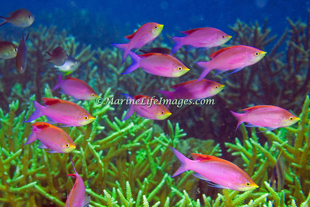 Purple Anthias inhabit reefs. Photographed Raja Ampat, Indonesia.
