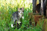 Tabby kitten in grass