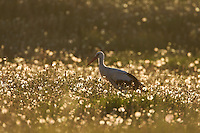 White stork (Ciconia ciconia) adult backlit in flower meadow in early morning light. Lithuania, May 2009. Mission: Lithuania