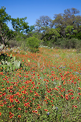 Blanket flower (Gaillardia aristata) covers roadsides and fields along FM (Farm-to-Market) Road 2341, which borders Lake Buchanan in the Highland Lakes area of Central Texas.