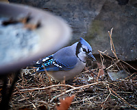 Blue Jay. Image taken with a Nikon D5 camera and 600 mm f/4 lens (ISO 1600, 600 mm, f/4, 1/400 sec)