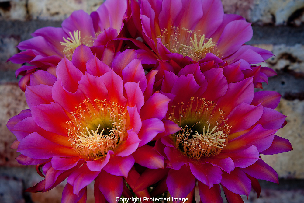 Colorful Mauve,red,white,pink & Peach colored Argentine Giant Cactus opens in cover of darkness.
