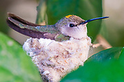 A hummingbird sits in her nest warming and protecting two eggs.