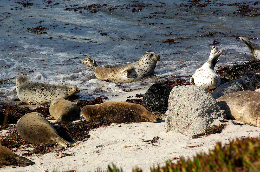 Harbor Seals (Phoca vitolina), Monterey, California, United States of America