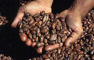 Cacao en proceso de secado. Después de fermentados, los granos son colocados al sol por unos cuatro o cinco días, tiempo en que se ponen rojizos u oscuros. Cabe destacar que para la elaboración del chocolate son indispensables las semillas de cacao. 2001 (Ramón Lepage / Orinoquiaphoto)  Dried process of Cocoa. After fermented, the grains are placed to the Sun for approximately four or five days, time in which they become reddish or dark. It's necessary to emphasize that for the elaboration of the chocolate the cocoa's seeds  are indispensable. 2001 (Ramon Lepage / Orinoquiaphoto)
