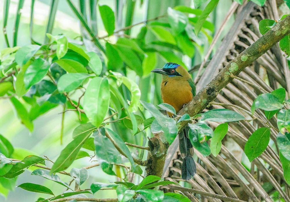 Blue-crowned Motmot [Momotus momota]; Gamboa, Panama