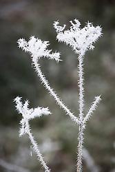 Hoar frost on Hogweed, Heracleum sphondylium