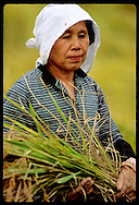 Woman in scarf cradles sheaf of rice harvested on family farm in late October; (v) Utsunomiya. Japan