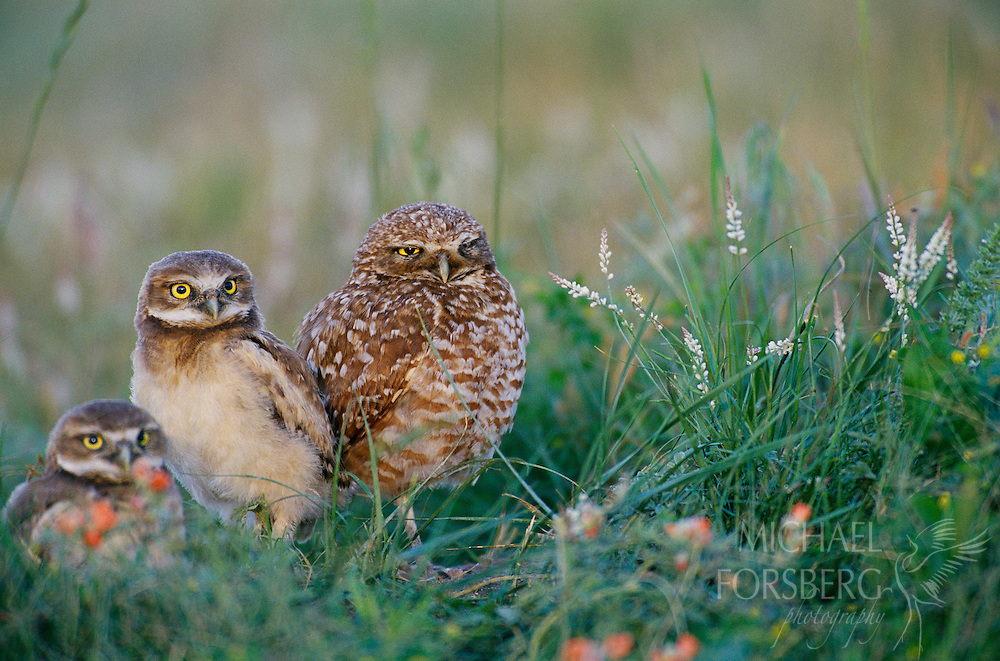 Burrowing Owls, Buffalo Gap National Grasslands, South Dakota.  In mid-June, mother burrowing owl and two young loiter outside their nest burrow at sunset surrounded by wildflowers on the edge of a prairie dog town. The young and their mother stay underground the first month of life until they are old enough to climb up out of the nest burrow. Burrowing owls are most often found nesting in prairie dog burrows, or sometimes badger or jackrabbit holes because they cannot dig deep burrows of their own. Such nest burrows provide critical protection and cover for the owls to raise their young.