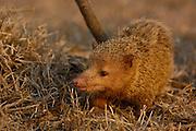 Common / Tailless tenrec (Tenrec ecaudatus) Daraina, NE MADAGASCAR