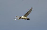 Tundra Swan (Cygnus columbianus) in flight, Langdon, Alberta, Canada   Photo: Peter Llewellyn