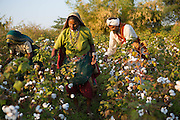 Sheela (middle) and her husband Manga (right) harvest their organic cotton on their farm in  Sendhwa, India.<br /> <br /> Sheela and Manga have recently converted to organic cotton farming with help from the Aga Khan Foundation who are working in partnership with the C&A Foundation.