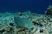 Stoplight Parrotfish Terminal Phase (Sparisoma viride)<br /> BONAIRE, Netherlands Antilles, Caribbean<br /> HABITAT & DISTRIBUTION: Reefs from South Florida, Bahamas, Caribbean & Bermuda