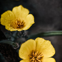 Three wild yellow poppies with dramatic processing.