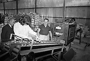 03/07/1963<br /> 07/03/1963<br /> 03 July 1963<br /> Views of tomato farm at Rush and Kinsealy, Co. Dublin. Image shows Mr Matt Ryan supervising machine grading tomatoes at Harp Fruit Mart, Rush Co. Dublin.
