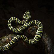 Wagler's Pit Viper (Tropidolaemus wagleri) female in Mueang Krabi, Thailand