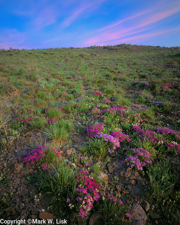Phlox blooms on the high desert floor of the Great Basin in the south eastern corner of Oregon.
