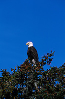 Bald Eagle, Prince William Sound, near Valdez, Alaska