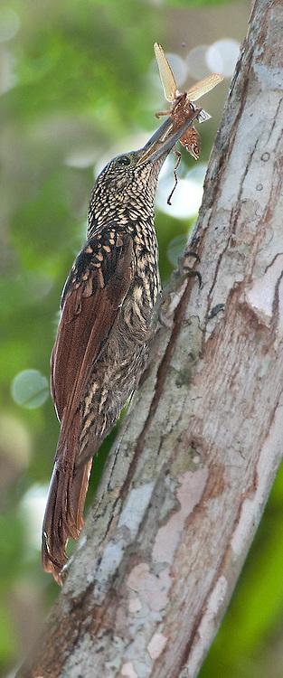 Black-striped Woodcreeper, Xiphorhynchus lachrymosus, Panama, by Owen Deutsch
