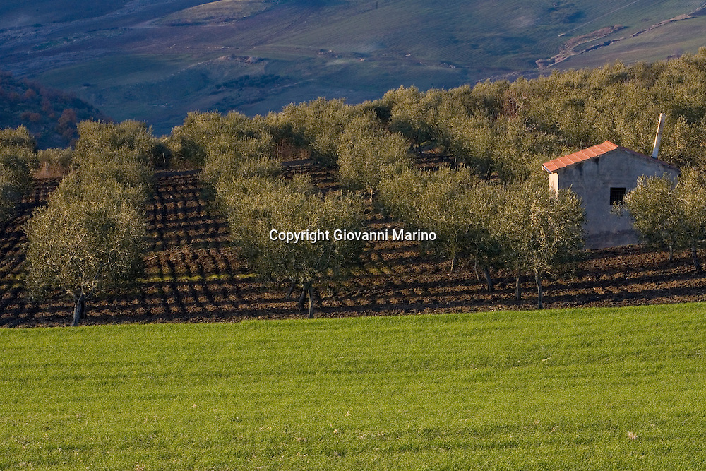 Rapolla, Basilicata, Italy - Olives