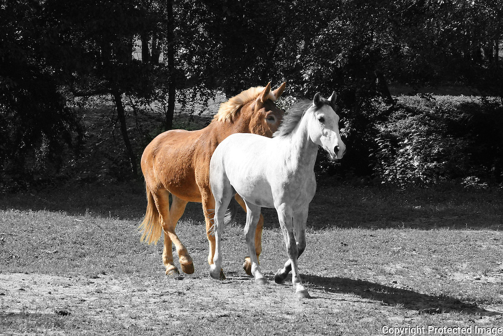 Black and white and color photo combined of a dapple gray horse and a draft mule trotting accross a pasture in tandem.