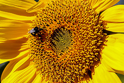 © Licensed to London News Pictures. 28/07/2020. London, UK. A bumblebee collects pollen from a sunflower on a sunny morning in the capital. Photo credit: Dinendra Haria/LNP