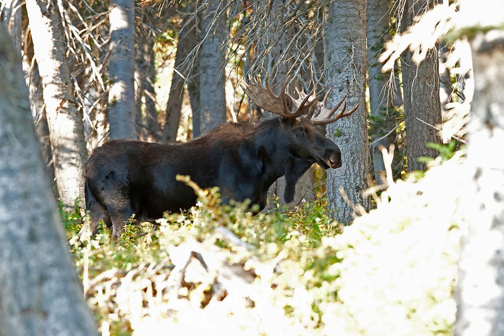 A Bull Moose works his way through the pine trees on Willard Peak in northern Utah.