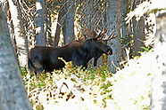 Antelope and Moose