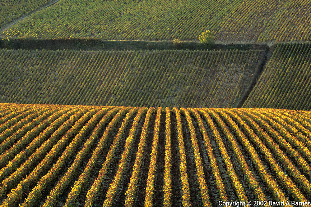 Vineyard; Chablis; Yonne; Burgundy; France; autumn