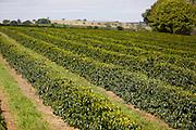 Patrocinio_MG, 17 de Junho de 2013<br /> <br /> Na foto, o fazendeiro Jose Astrogildo, o Zico, pequeno produtor rural que produz cafe pra exportacao. Ele fala como sobreviver em meio ao agronegocio.<br /> <br /> Foto: LEO DRUMOND / NITRO