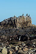 Double-crested Cormorants, a Western Gull and a Snowy Egret gathered around a large rock outcrop at low tide, Leo Carrillo State Park, Malibu, California.