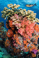 Midnight Snapper, Hard and Soft Corals<br /> <br /> Shot in Indonesia