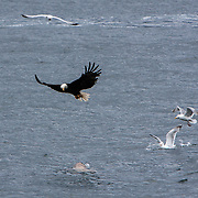 An American Eagle fights off a seal and sea gulls near Point Retreat Lighthouse in Auke Bay near Juneau, Alaska<br /> Photography by Jose More