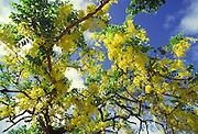 Gold tree, Hawaii<br />