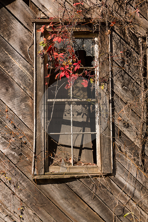 An abandoned old wooden barn window with Virginia creeper vine on a rural road in Prices Creek, North Carolina.
