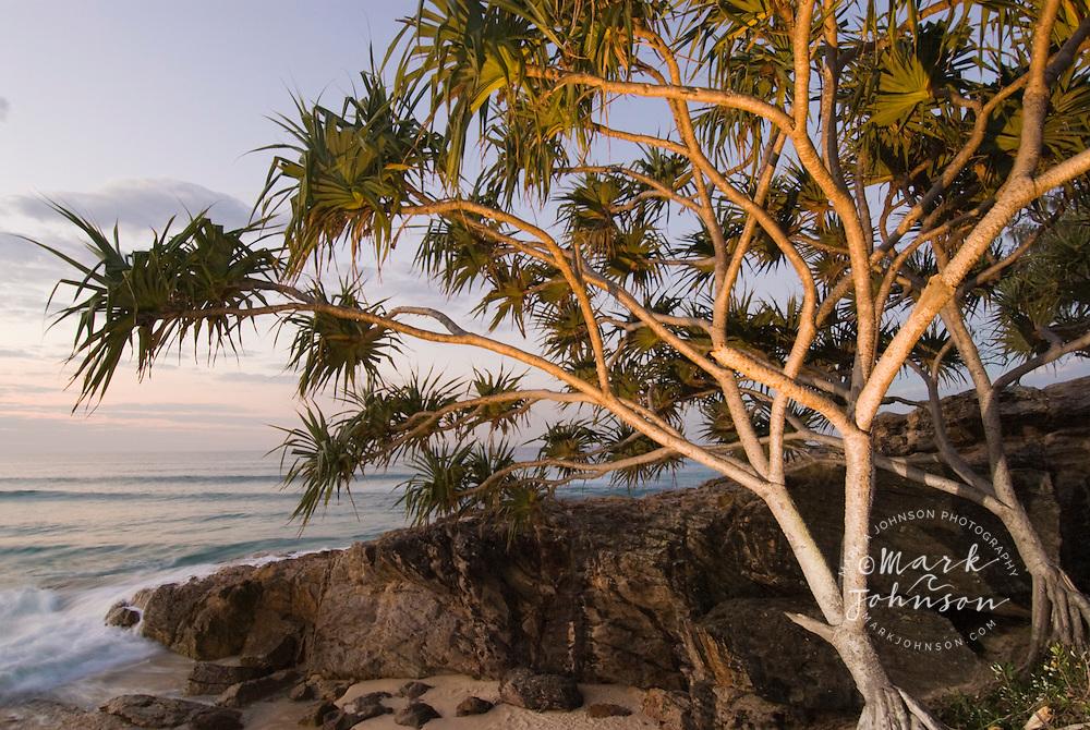 Pandanus tree, Adder Rock, N. Stradbroke Island, Queensland, Australia