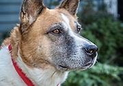 Shib Inu Shepperd Mix Dog portrait.