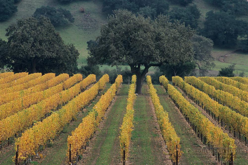 Firestone Vineyards, along Zaca Station Road, Santa Barbara County, California