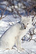 01863-01119 Arctic Fox (Alopex lagopus) in snow in winter, Churchill Wildlife Management Area, Churchill, MB Canada