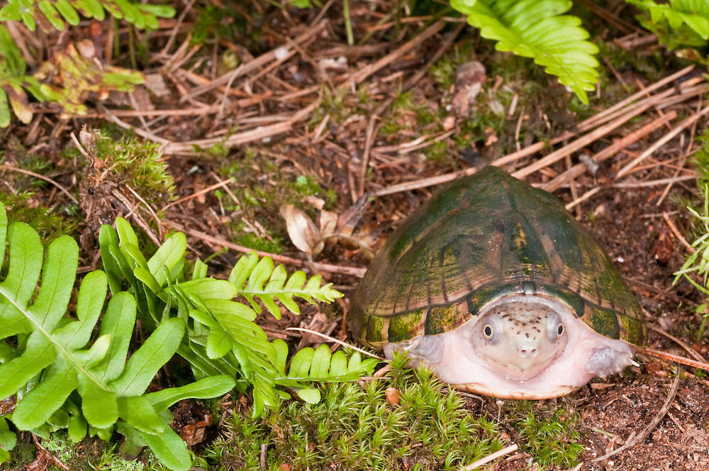 Loggerhead musk turtle, Sternotherus minor, native to southeastern United States
