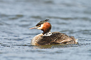 An Australasian Crested Grebe chick piggybacks on its parent, Lake Hayes, New Zealand