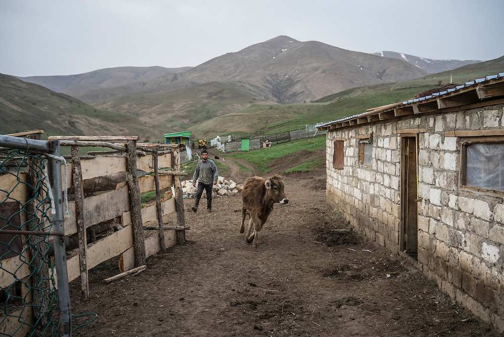 VANK, NAGORNO-KARABAKH - APRIL 22: Gevorg Akulyan, 24, herds a cow into the barn on a farm in the mountains on April 22, 2015 near Vank, Nagorno-Karabakh. Since signing a ceasefire in a war with Azerbaijan in 1994, Nagorno-Karabakh, officially part of Azerbaijan, has functioned as a self-declared independent republic and de facto part of Armenia, with hostilities along the line of contact between Nagorno-Karabakh and Azerbaijan occasionally flaring up and causing casualties. (Photo by Brendan Hoffman/Getty Images) *** Local Caption *** Gevorg Akulyan