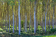 Light and shade tall Birches - managed plantation copse of Silver Birch European White Birch Trees Betula Pendula, France