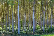 Light and shade tall Birches - managed plantation copse of Silver Birch European White Birch Trees Betula Pendula, France