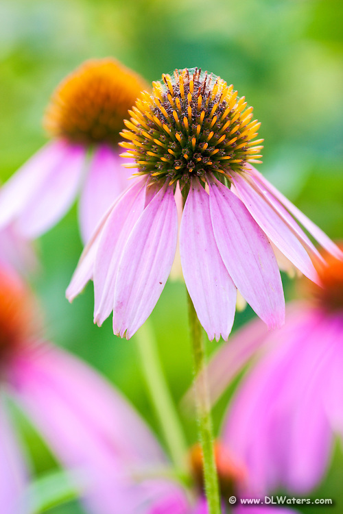Echinacea or coneflower, its common name, is also a well-known vitamin supplement that is thought to be able to cut the chances of catching a cold in half.