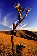 Nova Lima_MG, Brasil...Canela de Ema (Vellozia squamata) em campo rupestre no Parque Estadual da Serra do Rola Moca...The arbust Vellozia squamata in the Serra do Rola Moca State Park...Foto: JOAO MARCOS ROSA / NITRO