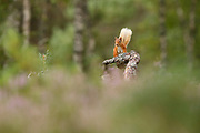 Red Squirrel (Sciurus vulgaris) in summer in woodland habitat, in the Cairngorms National Park, Scotland