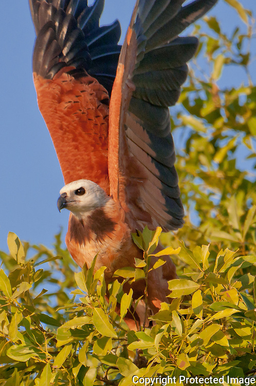 Black Collared Hawk takes flight along the Pixiam river, Pantanal, Brazil