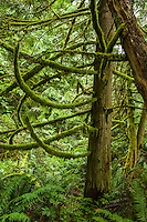 A Cedar tree with branches covered in moss, Tiger Mountain, Washington.
