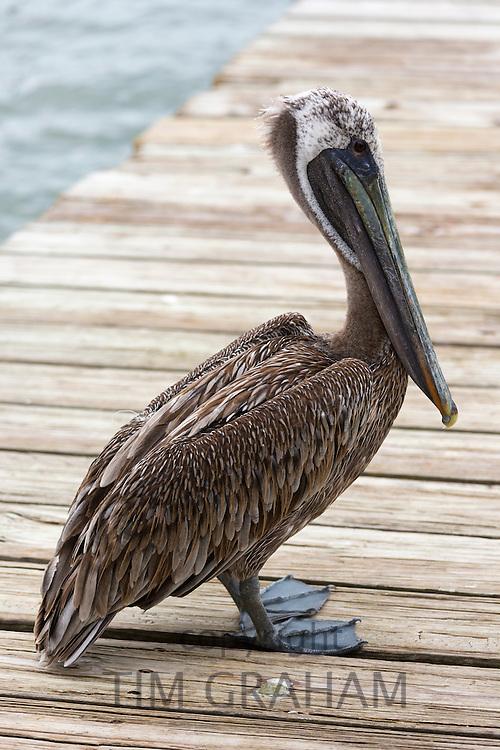 Brown Pelican, Pelecanus occidentalis, a large shorebird standing on decking at Captiva Island, Florida, USA